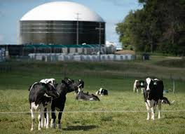cows and dairy digester